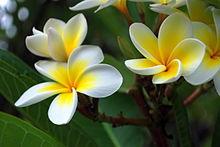 Champa flowers